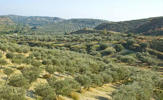 Smukke oliventræer