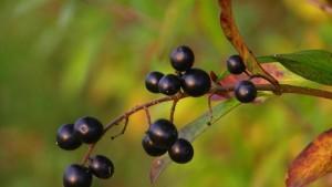 Maqui bær powerfulde antioxidanter